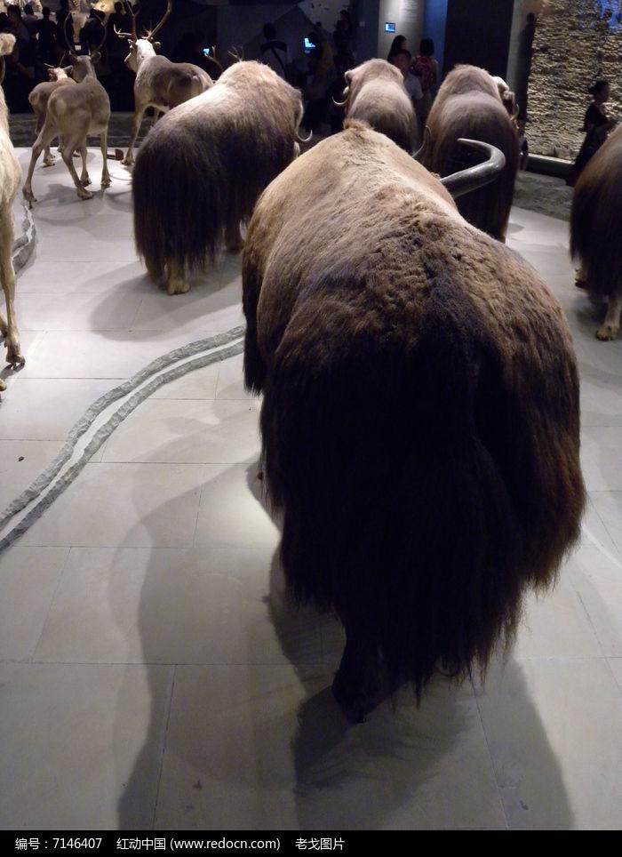 麝牛牛毛图片,高清大图_陆地动物素材
