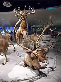 一群白尾鹿