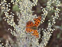 蒿草上的蝴蝶