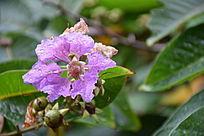 带雨紫色六角花朵