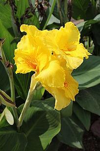 黄色美人蕉花朵