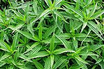 野生植物蜇麻子