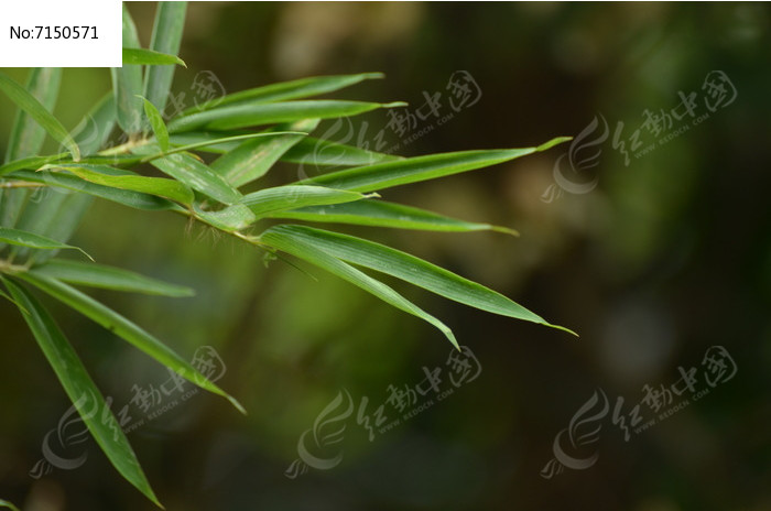 原创摄影图 动物植物 树木枝叶 竹叶特写图片