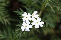 白色的细叶美女樱