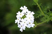 白色细叶美女樱花
