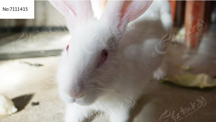大白兔图片,高清大图_陆地动物素材