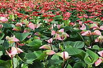 粉红的红掌花花海