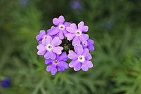 粉紫细叶美女樱