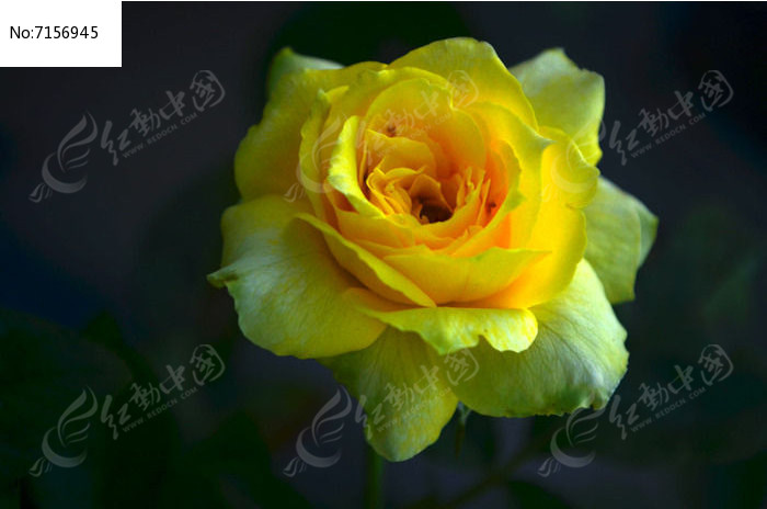 俯拍一朵黄玫瑰花花朵图片