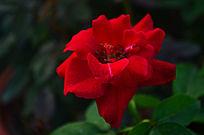 红色玫瑰花风景