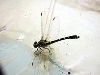 蜻蜓 昆虫