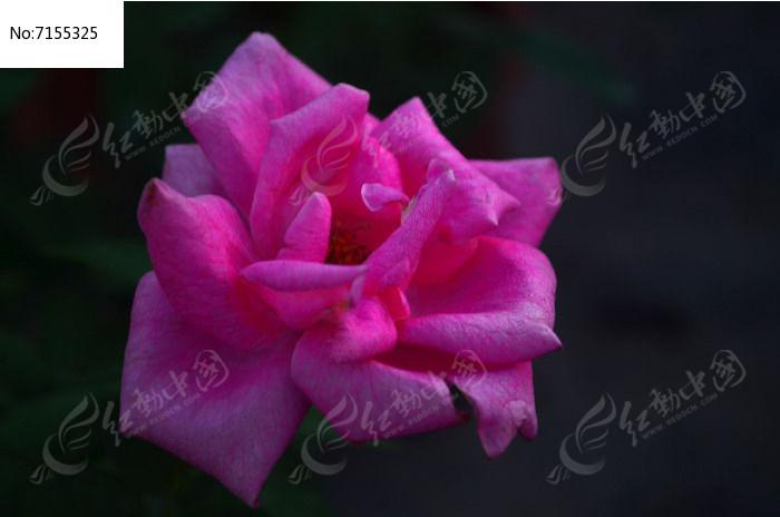 玫瑰花风景特写花卉图片高清图片下载 编号7155325 红动网图片