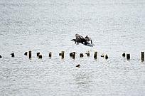 在湖面上自由飞翔的鹭鸟