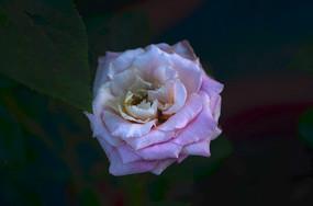 粉嫩色玫瑰花花朵鲜花特写