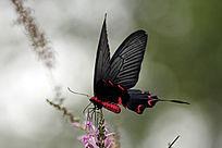 红色黑翅膀蝴蝶