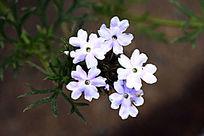 浅紫色细叶美女樱