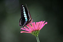 亲吻花儿的蝴蝶