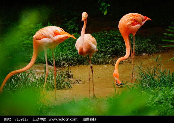 三只火烈鸟图片,高清大图_空中动物素材