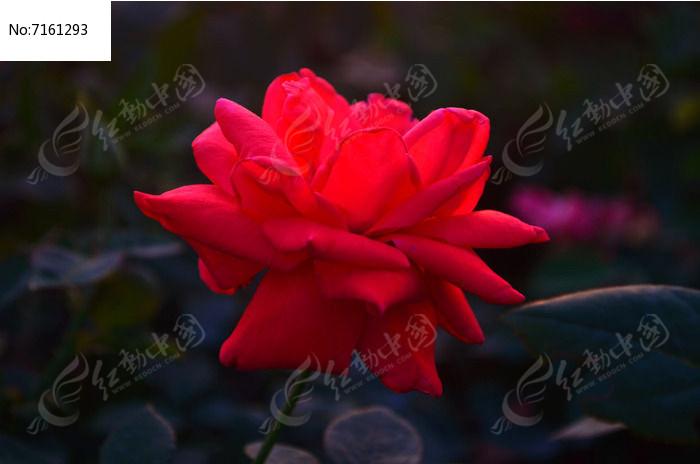 特写美丽的红玫瑰花卉景色图片高清图片下载 编号7161293 红动网图片