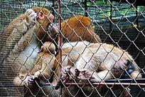 铁笼中的猴子