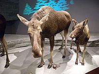 驼鹿 父子俩
