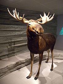 驼鹿 全身标本