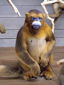 西部白眉长臂猿