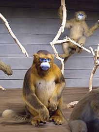 西部白眉长臂猿 标本