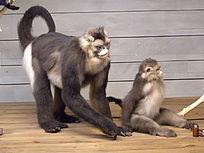 西部白眉长臂猿 母子俩