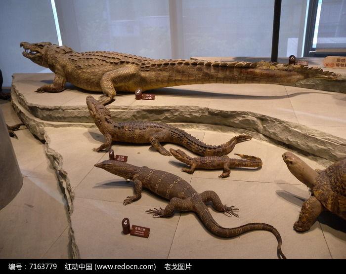 原创摄影图 动物植物 水中动物 扬子鳄 鳄鱼