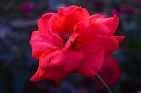 一朵怒放的红玫瑰鲜花