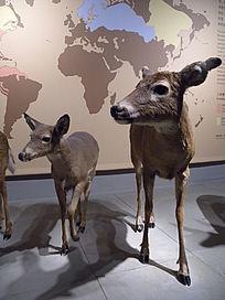 幼年白尾鹿