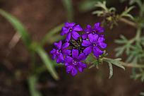 紫色细叶美女樱花