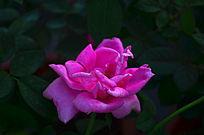 粉红的月季花