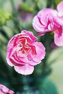 粉红色的香石竹特写图