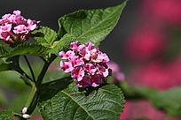 粉色的美女樱花