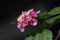 粉色美女樱花