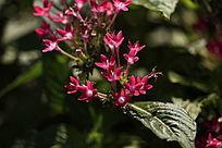 红色的小五瓣花