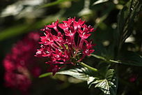 红色小五瓣花
