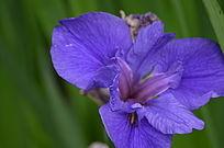 蓝蝴蝶花鲜花