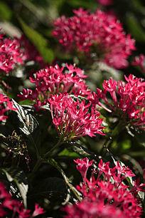 盛开的红色小五瓣花
