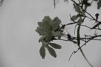 枝头上的紫荆花