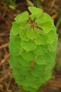 宝塔型绿色植物