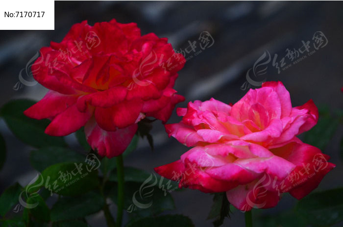 两朵玫瑰花鲜花花卉风景图片高清图片下载 编号7170717 红动网图片