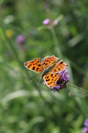 柳叶马鞭草上的黄色蝴蝶