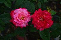 玫瑰花花卉世界风景图片