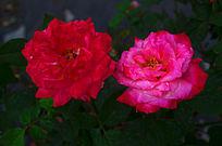 玫瑰花鲜花世界图片