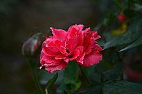 月季花红色花朵特写图片