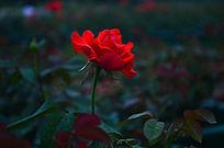 灿烂的红色鲜花玫瑰花