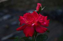 红色玫瑰花花朵花卉